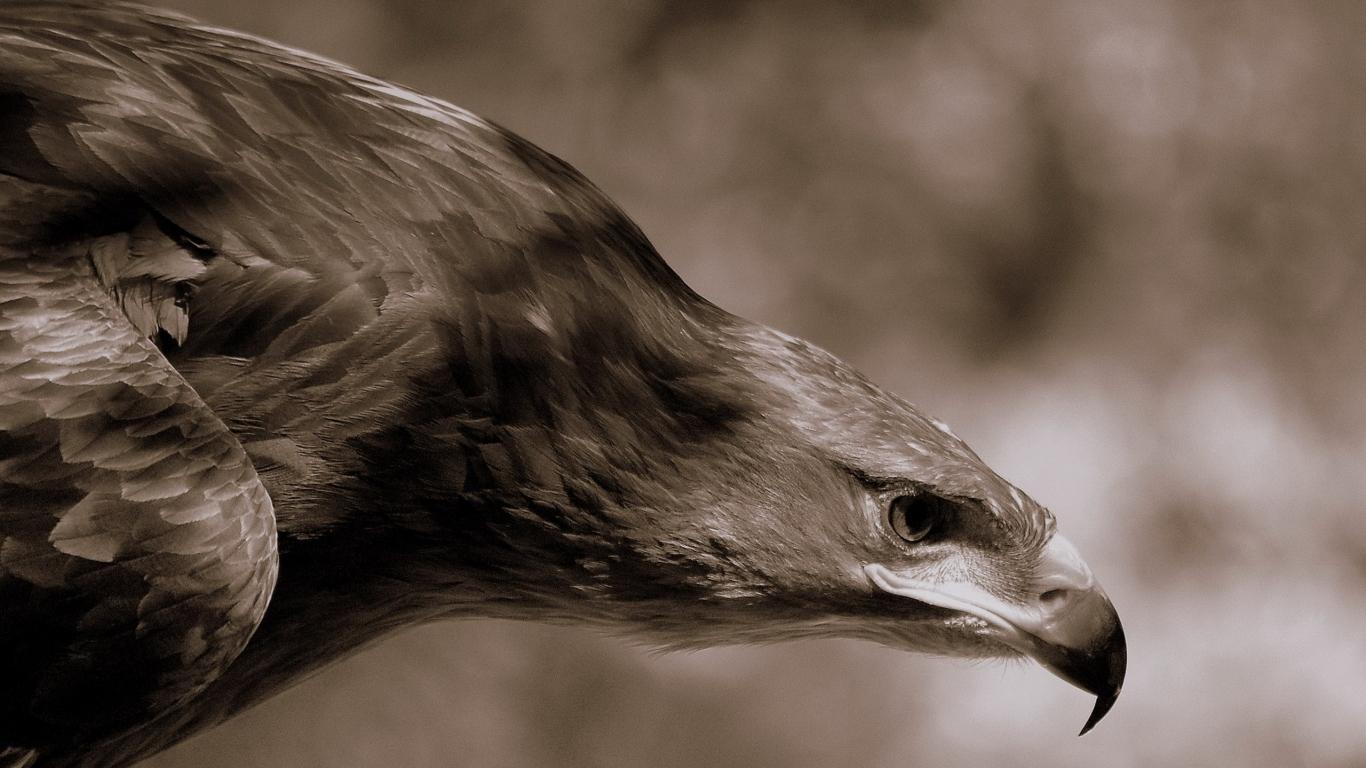 Aguila Marron en caceria - 1366x768
