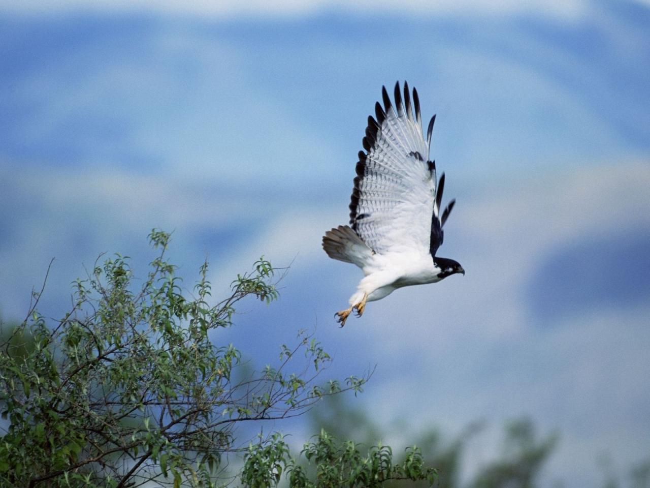 Ave rapiña volando - 1280x960