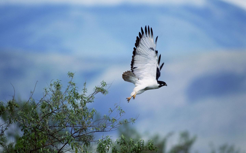 Ave rapiña volando - 1440x900