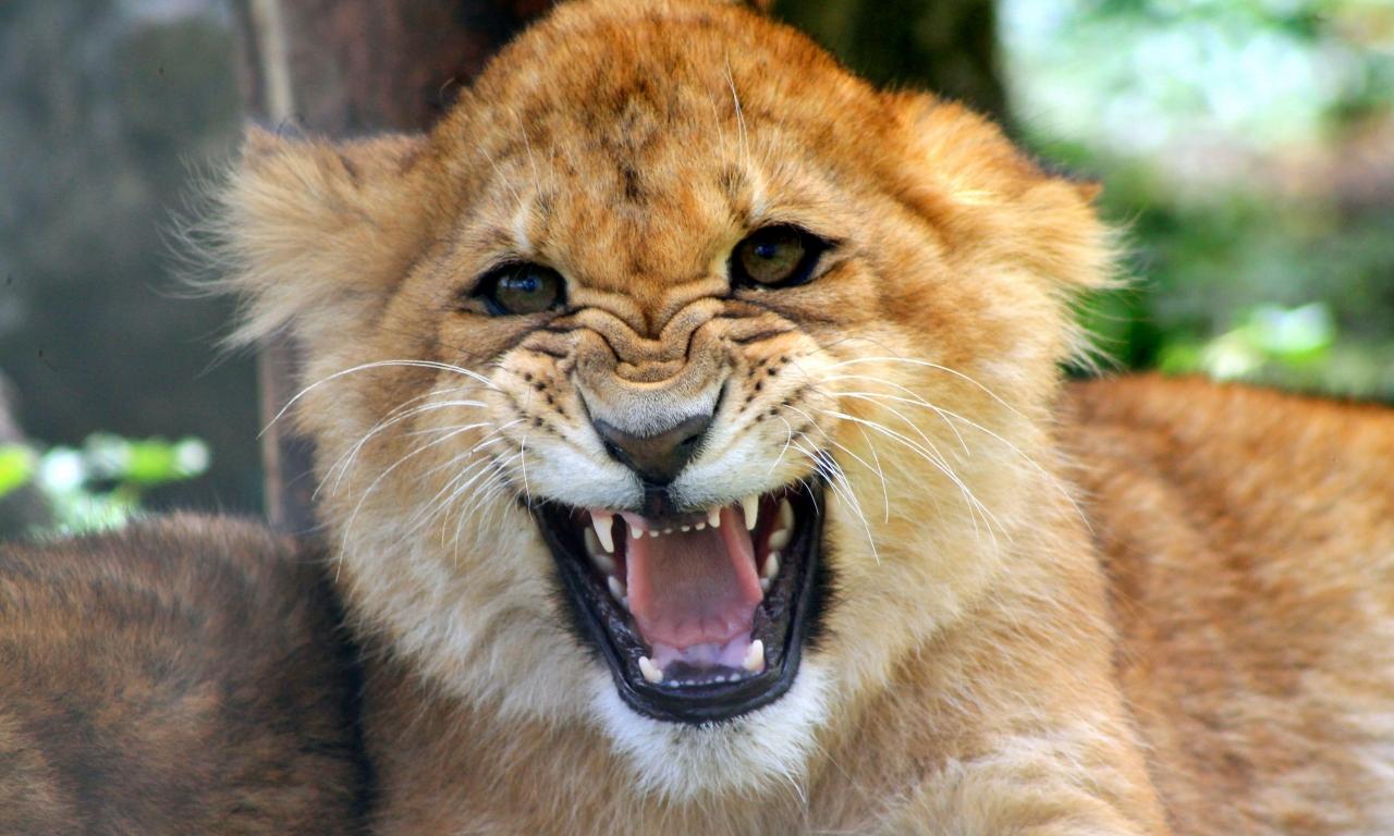 Cachorro león rugiendo - 1280x768
