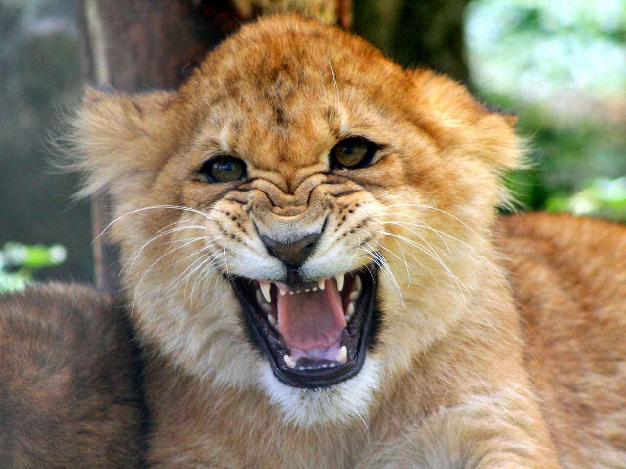 Cachorro león rugiendo - 1280x960
