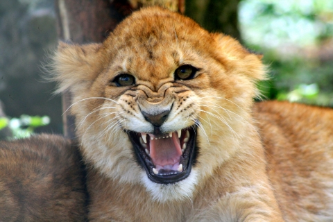 Cachorro león rugiendo - 480x320