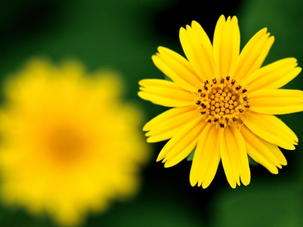 Flor amarilla - 1024x768