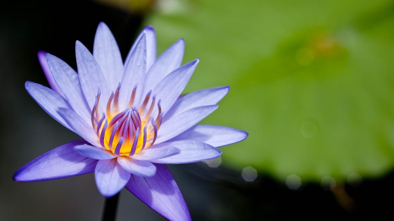 Flor purpura en macro - 1366x768