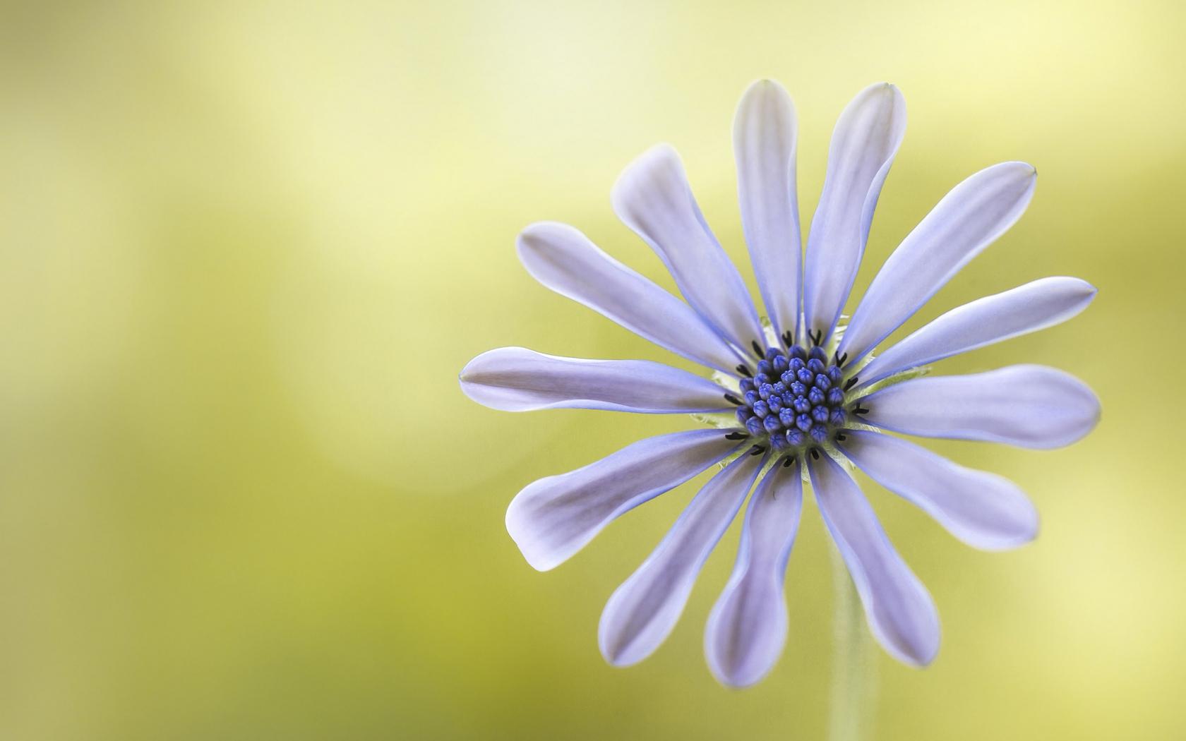 Flor púrpura - 1680x1050