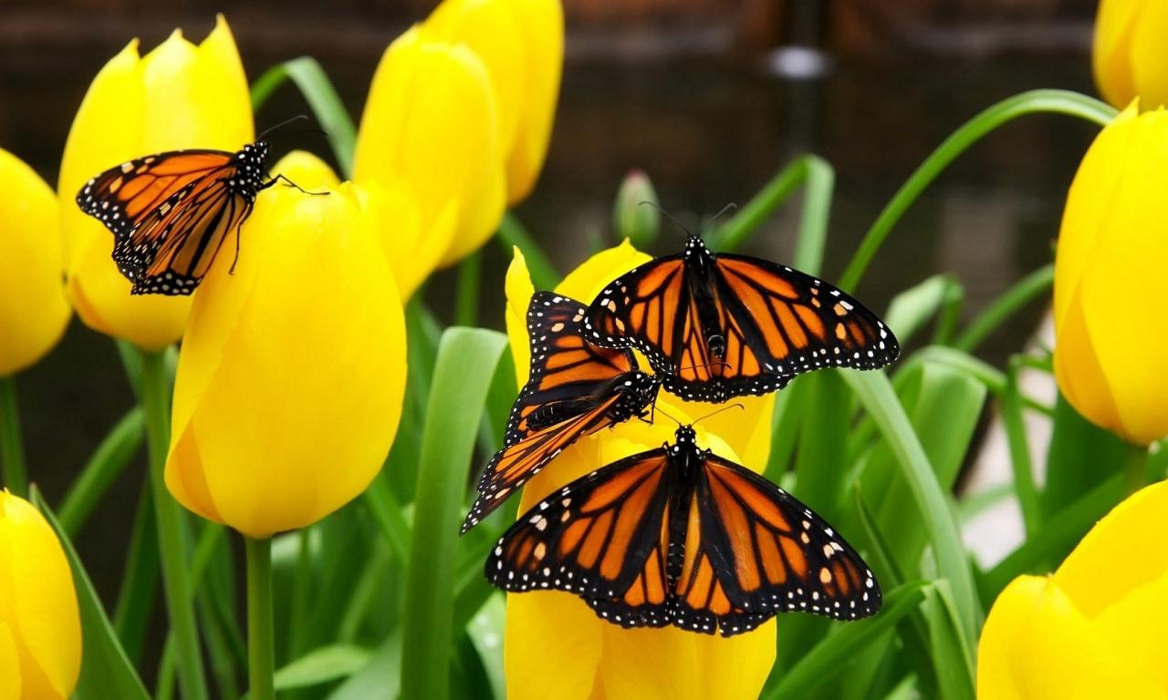Flores amarillas y mariposas - 1280x768