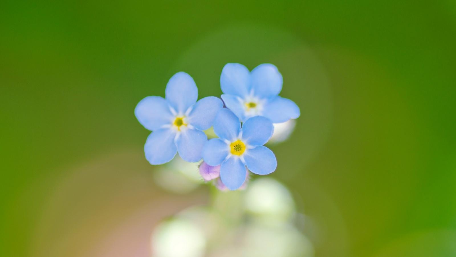Flores azules en macro - 1600x900