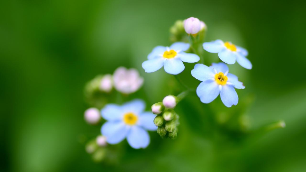 Flores azules - 1280x720