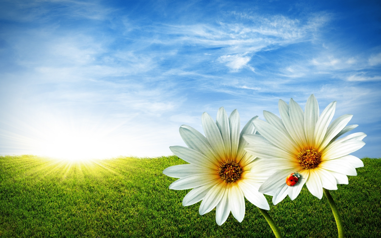 Flores blancas en paisajes - 1280x800