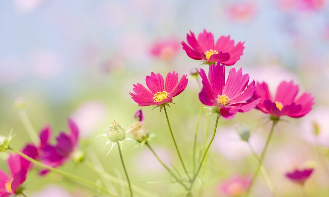 Flores japonesas hermosas - 1280x768