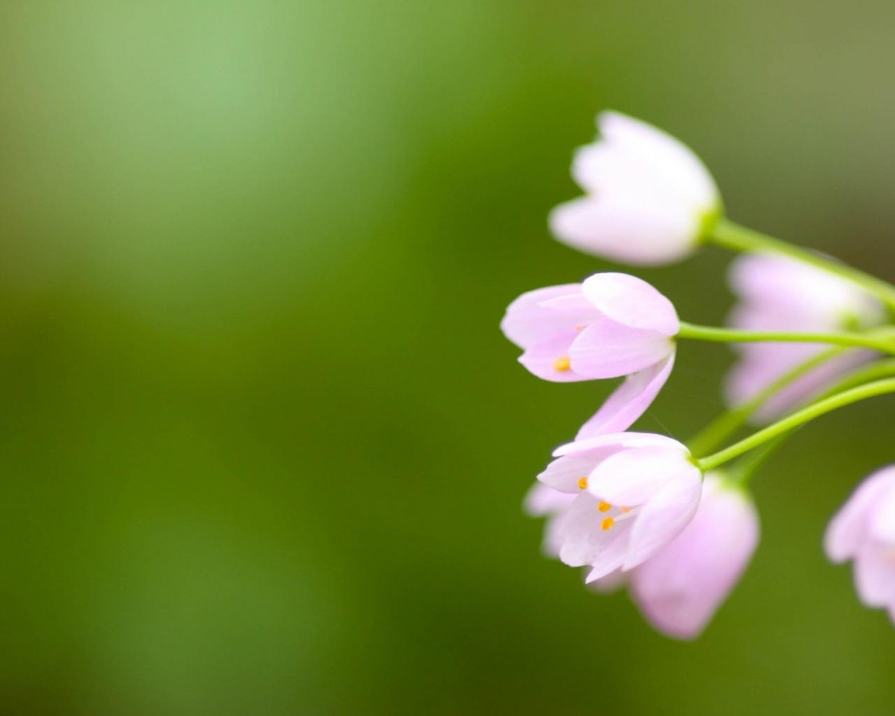 Flores tulipanes rosadas - 1280x1024