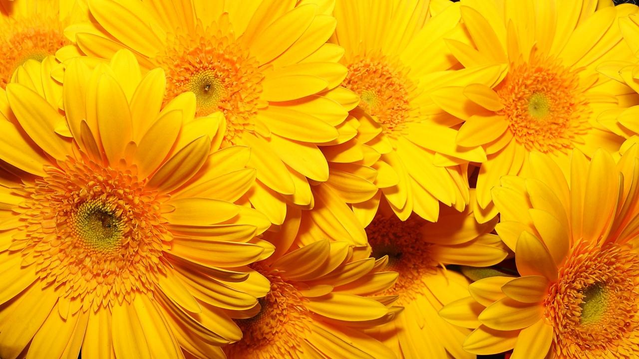 Fondos De Flores Wallpapers Hd Gratis: Fondo Con Flores Amarillas Hd 1280x720