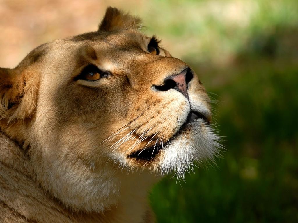 Fotografías de Pumas - 1024x768