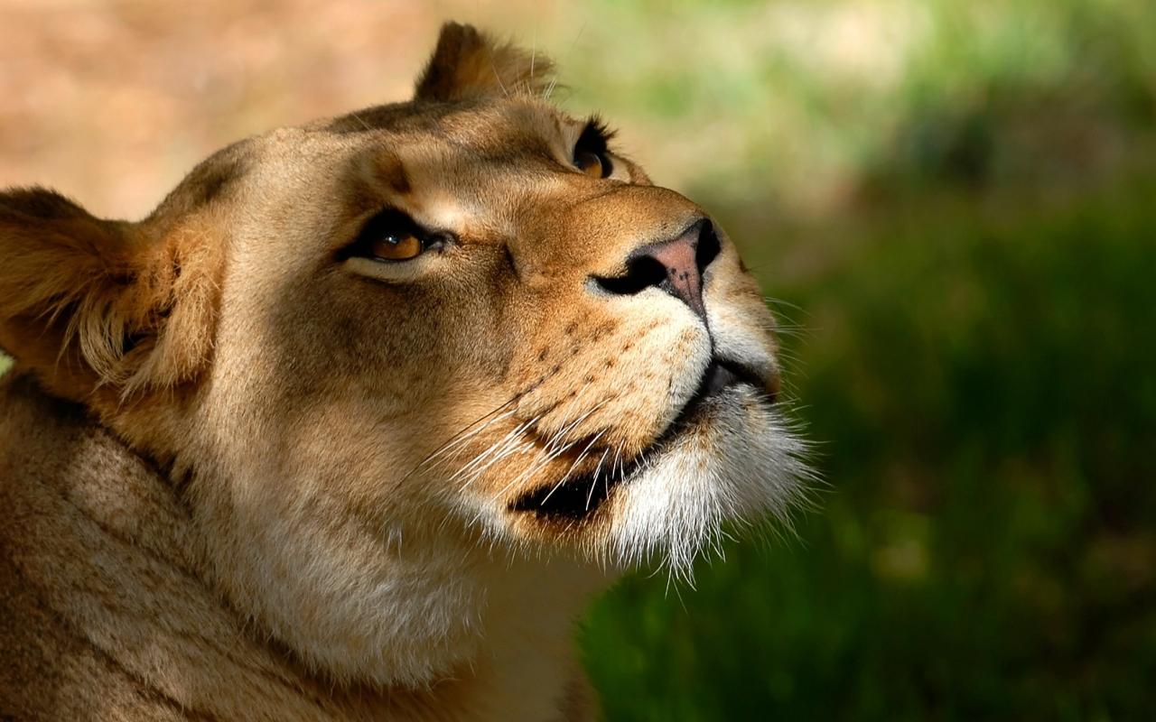 Fotografías de Pumas - 1280x800