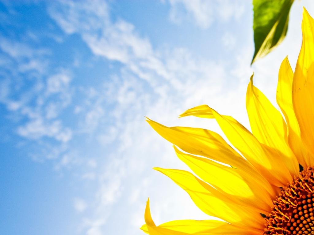Girasol a la luz del sol - 1024x768