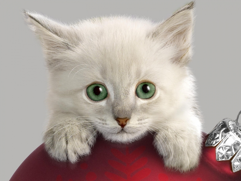 Hermoso gato blanco - 800x600
