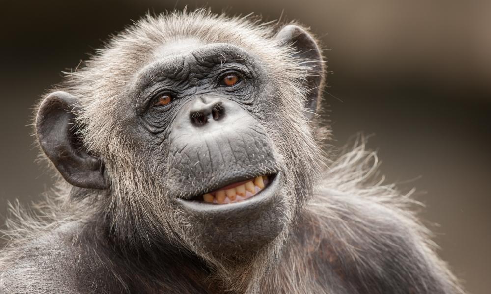 La cara de un chimpancé - 1000x600