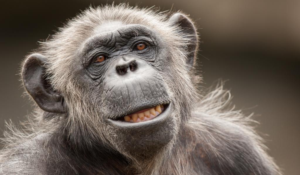 La cara de un chimpancé - 1024x600