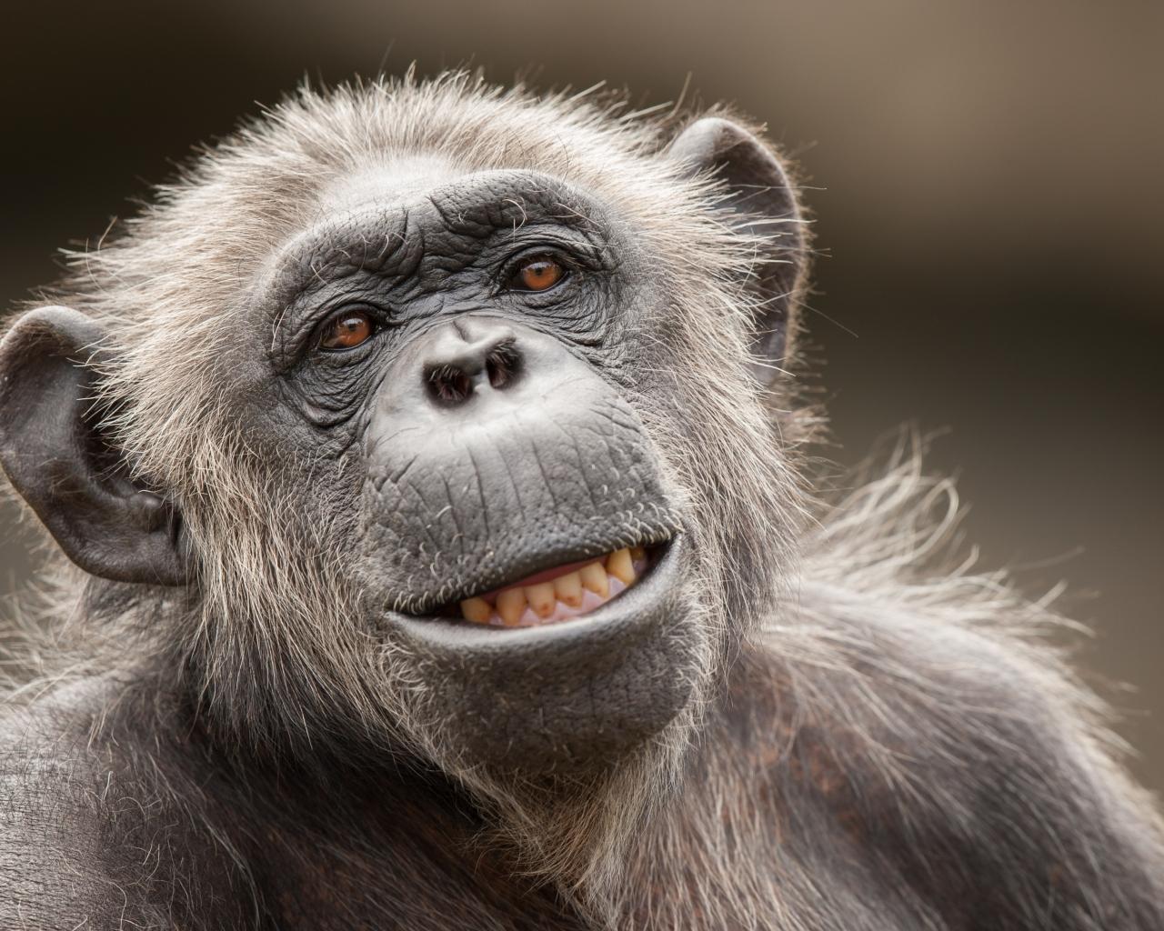 La cara de un chimpancé - 1280x1024