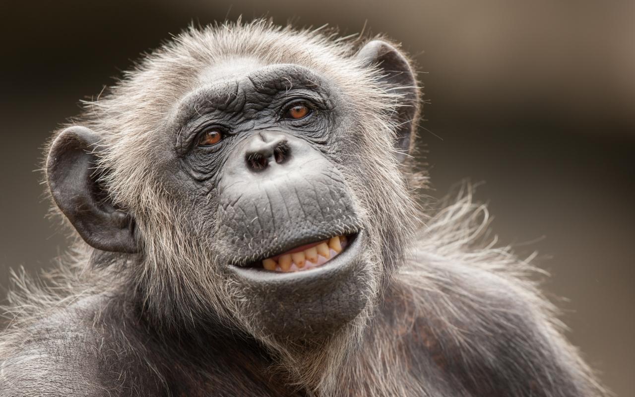 La cara de un chimpancé - 1280x800