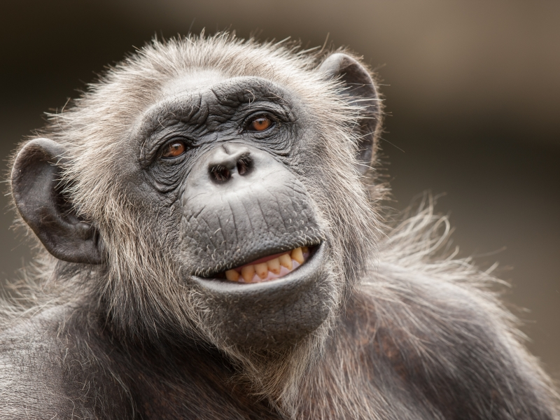 La cara de un chimpancé - 800x600