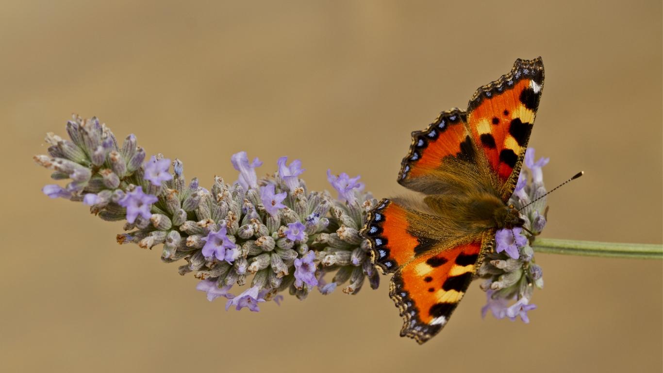 Mariposa color Naranja - 1366x768