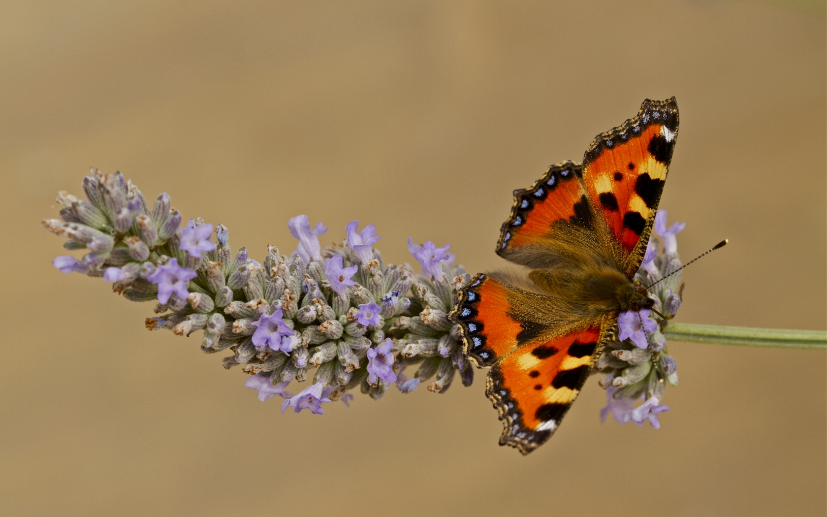 Mariposa color Naranja - 1680x1050