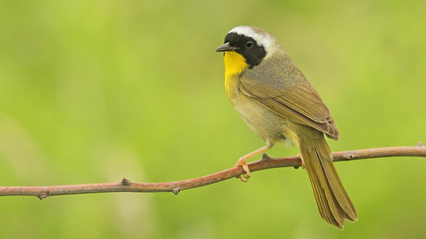 Pájaro pecho amarillo - 1366x768