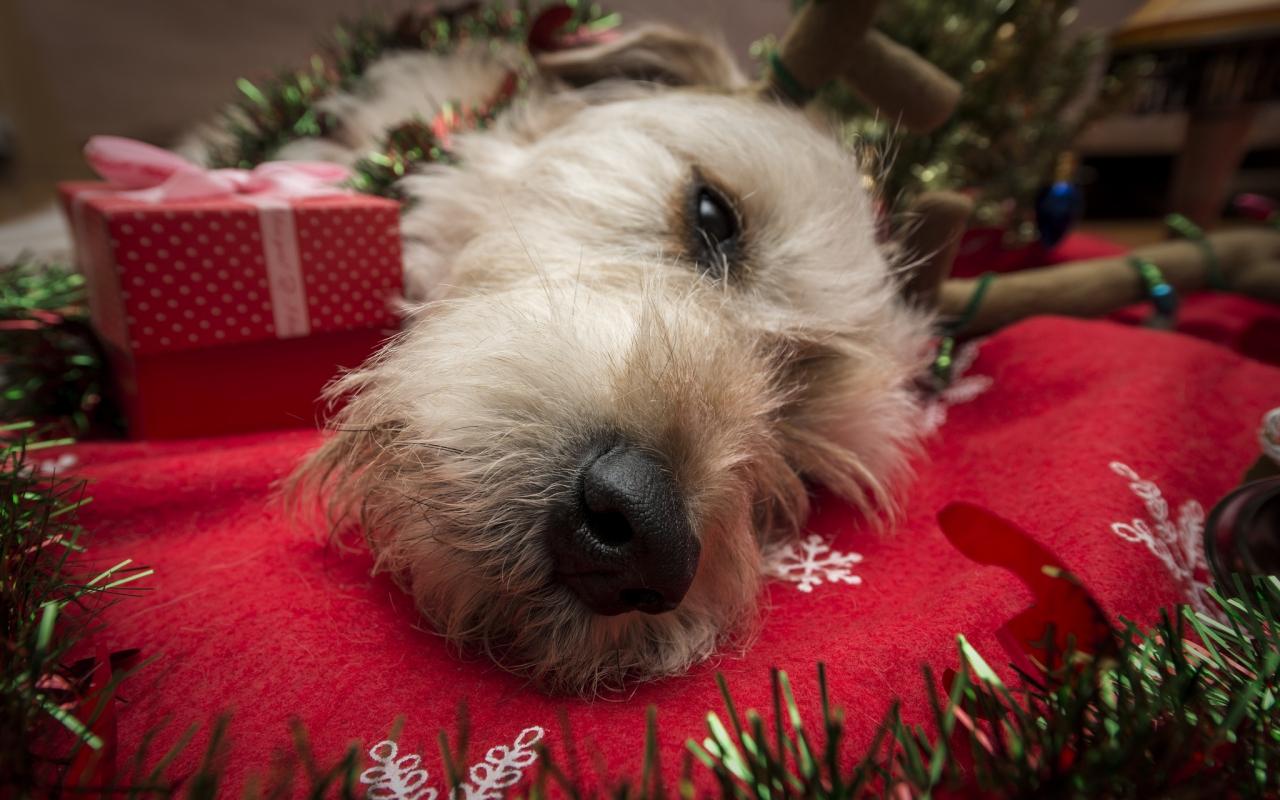 Perro navideño - 1280x800