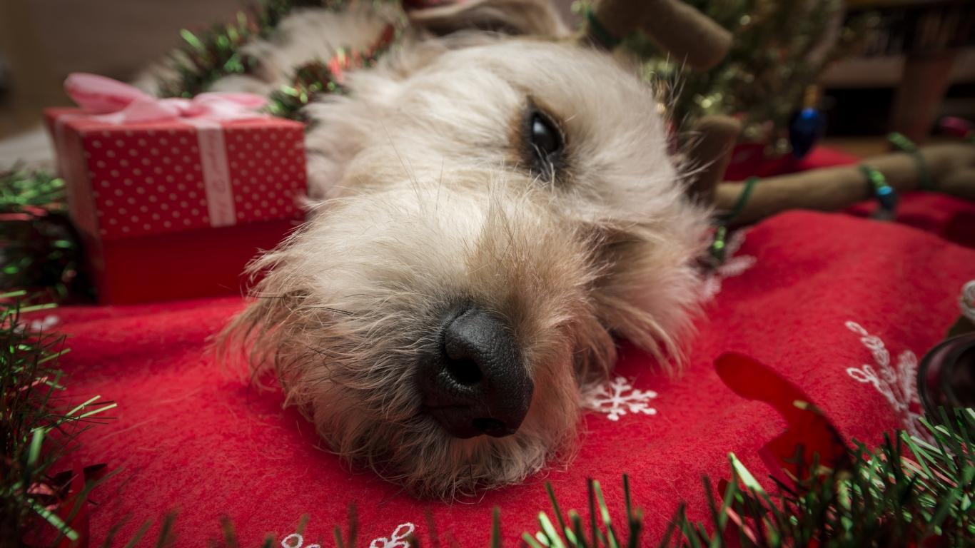 Perro navideño - 1366x768