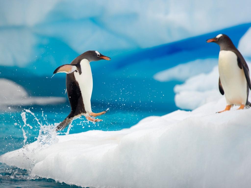 Pingüinos saltando - 1024x768