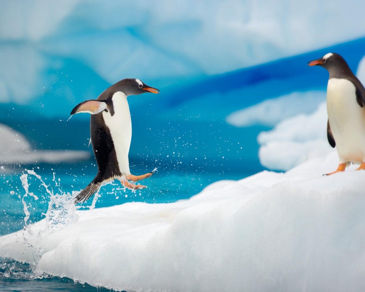 Pingüinos saltando - 1280x1024