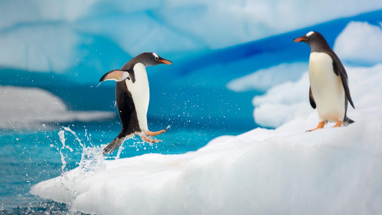 Pingüinos saltando - 1600x900