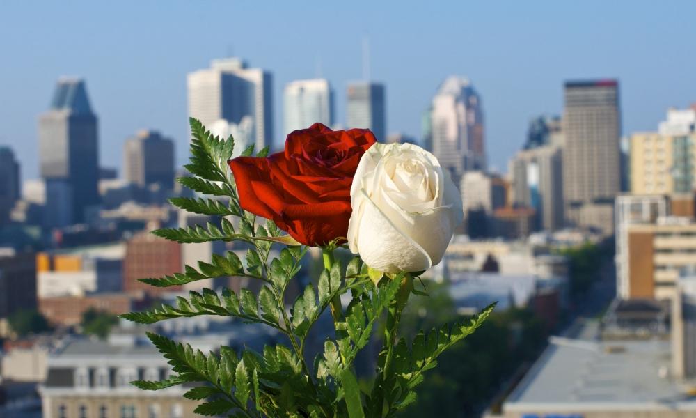 Rosas blanca y roja - 1000x600