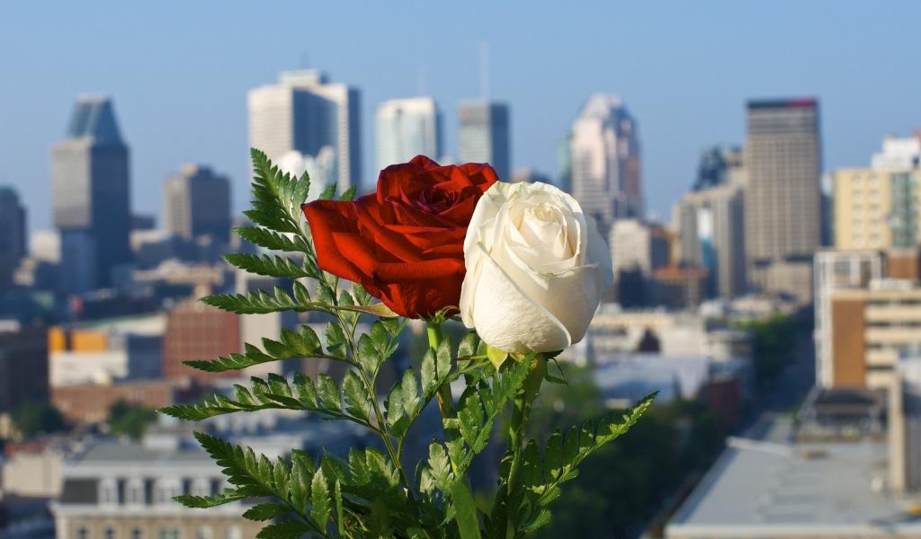 Rosas blanca y roja - 1024x600