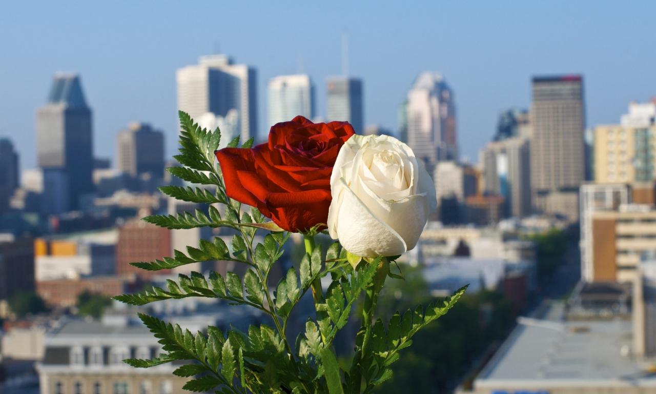 Rosas blanca y roja - 1280x768