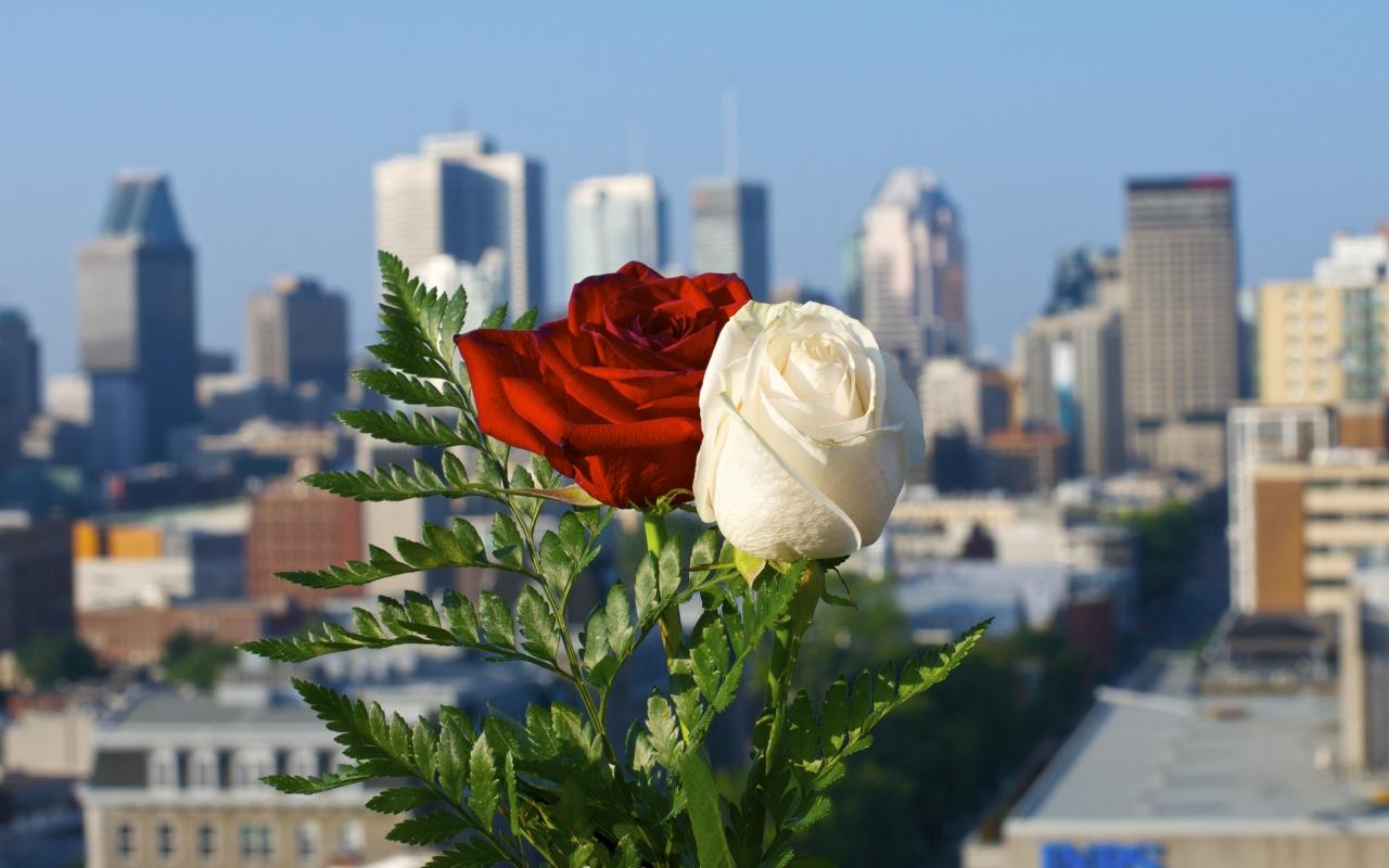 Rosas blanca y roja - 1280x800