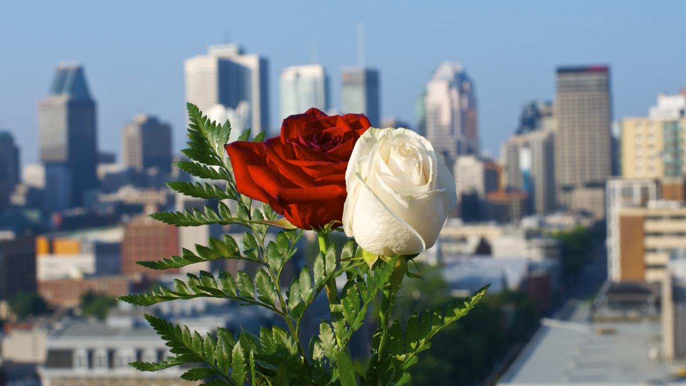 Hermosas Flores Blancas Wallpaper Hd Fondos De Pantalla Gratis: Rosas Blanca Y Roja Hd 1366x768