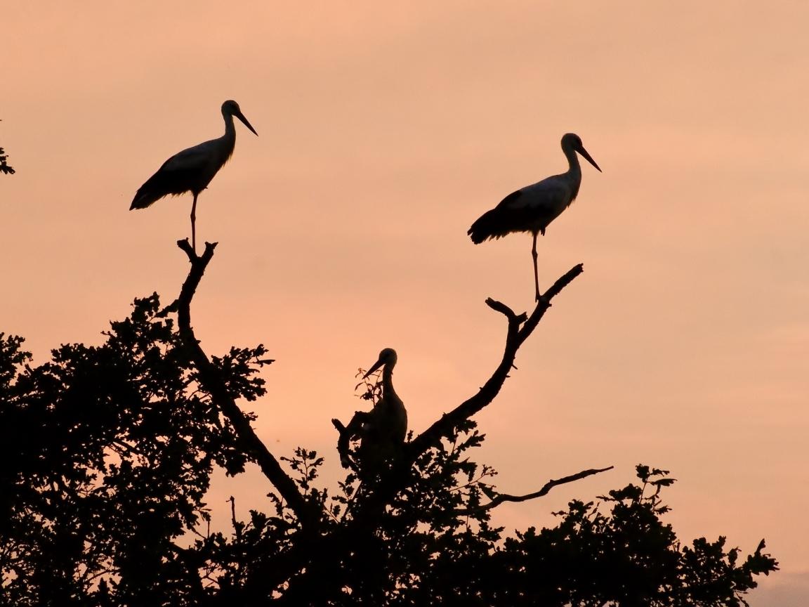 Siluetas de aves - 1152x864