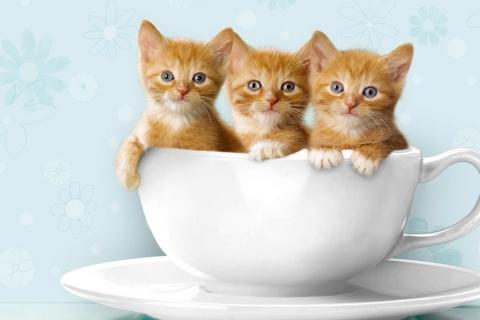 Tres gatos en una taza - 480x320