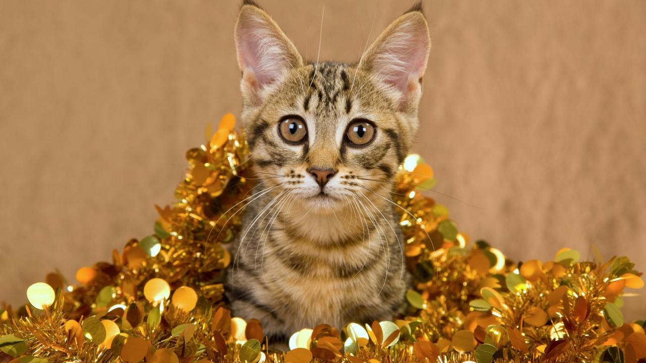 Un gato muy bonito - 1280x720
