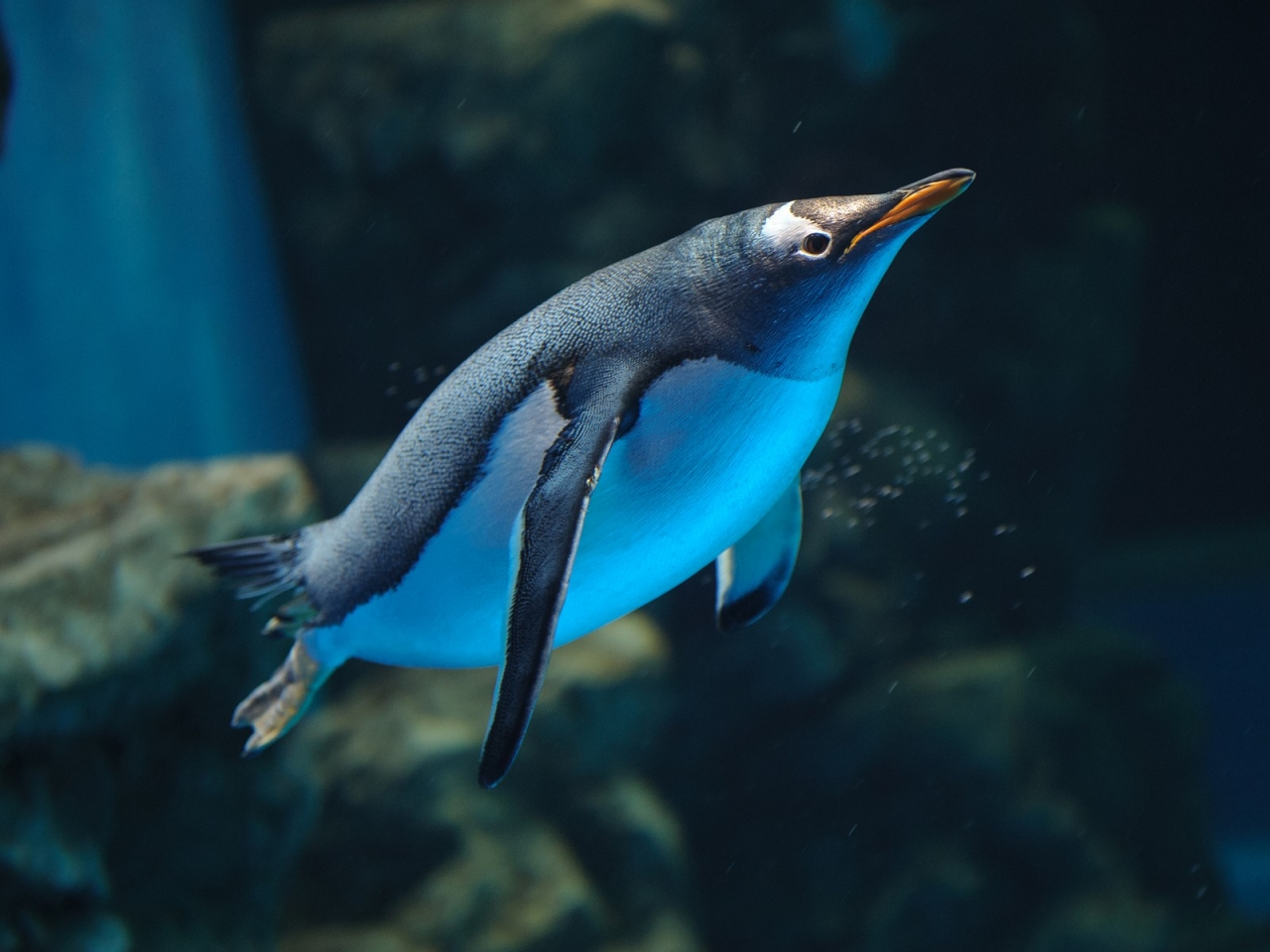 Un pinguino buceando - 1280x960