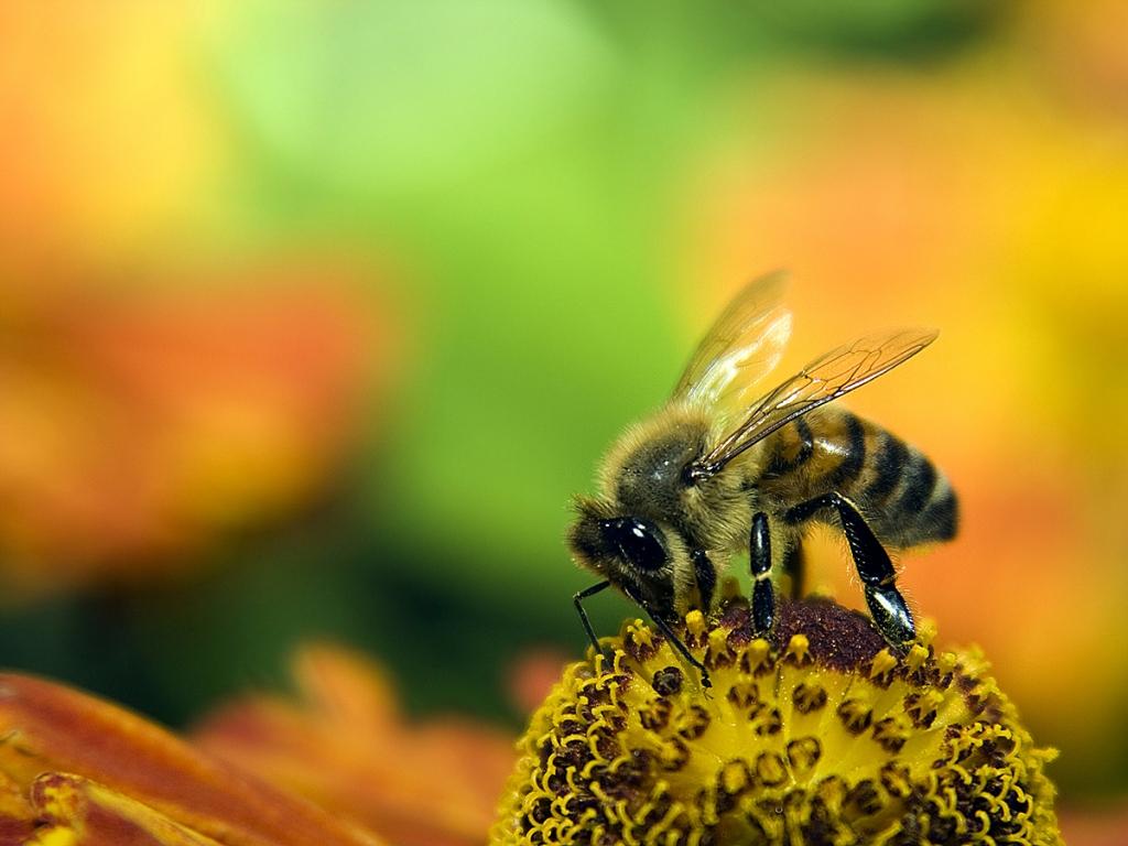 Una abeja en las flores - 1024x768