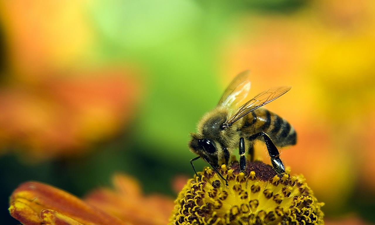 Una abeja en las flores - 1280x768