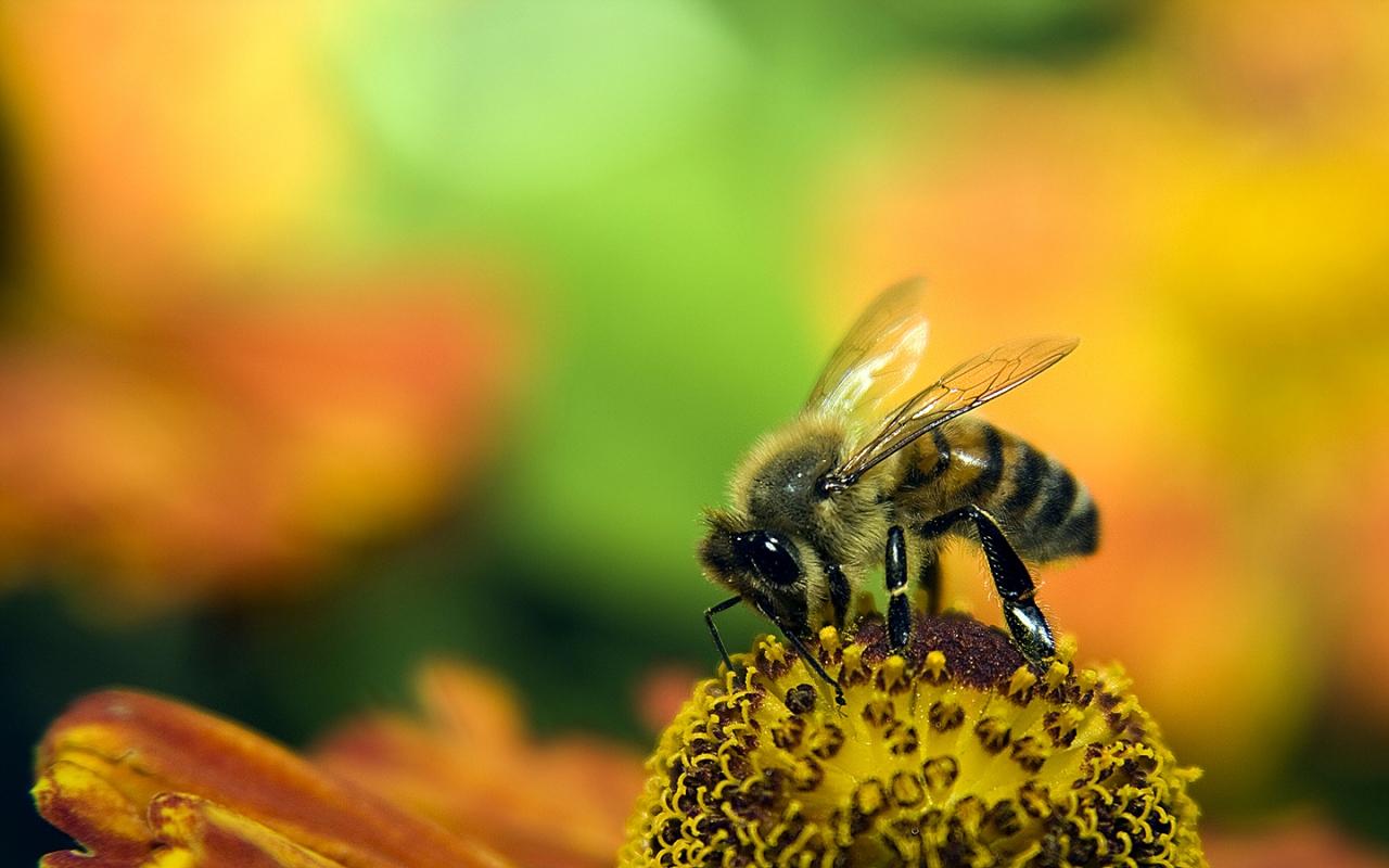 Una abeja en las flores - 1280x800