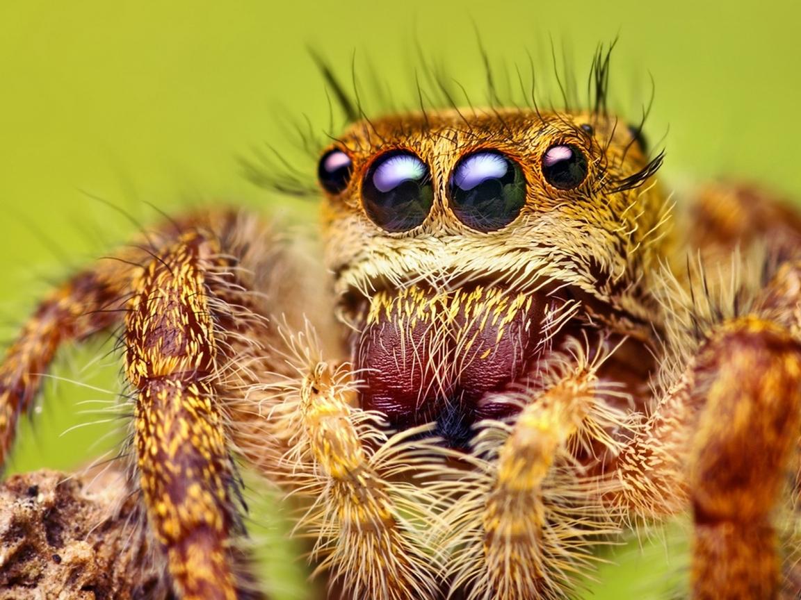 Una araña con varios ojos - 1152x864