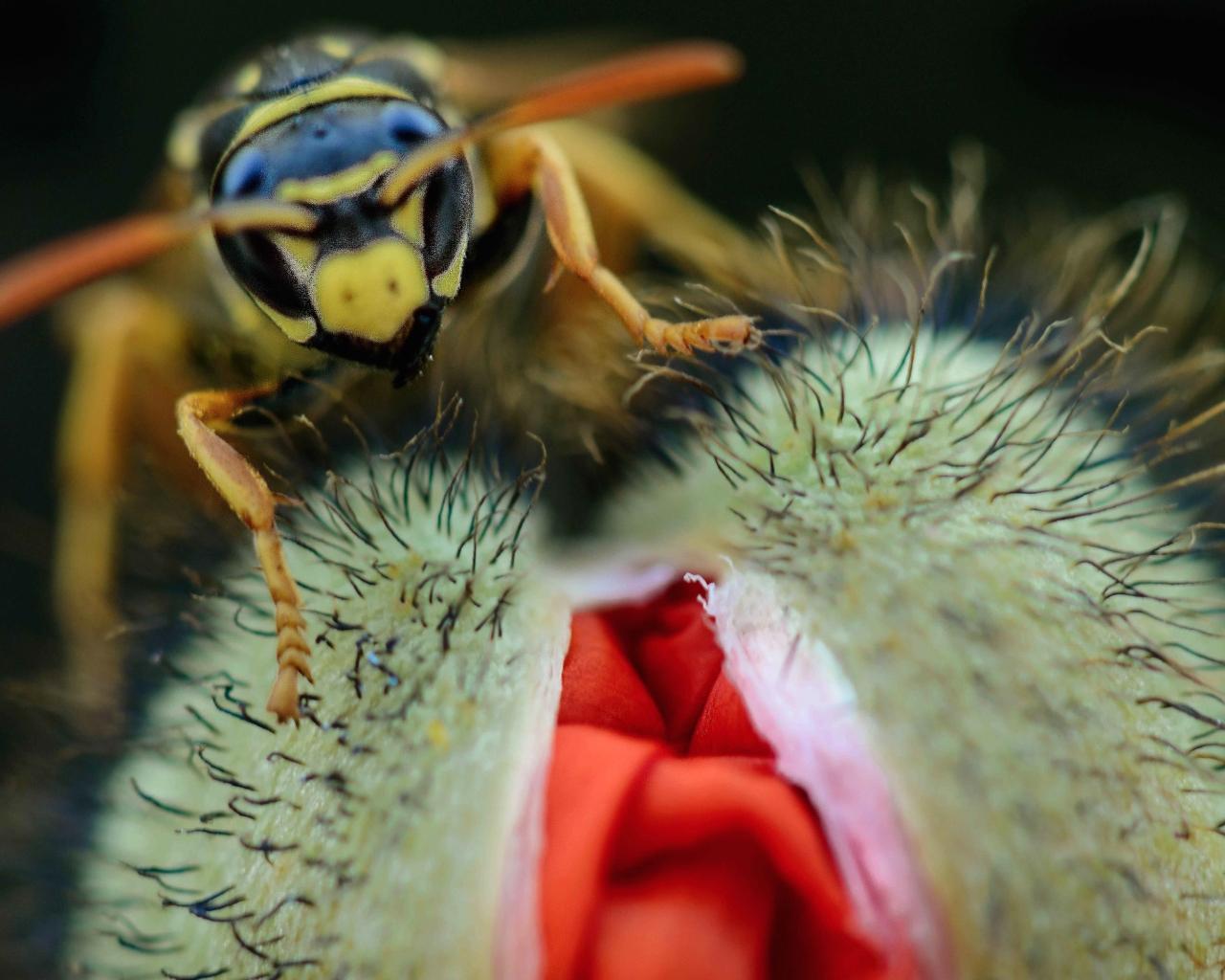 Una avispa y una amapola - 1280x1024