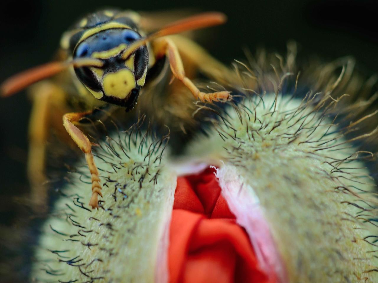 Una avispa y una amapola - 1280x960