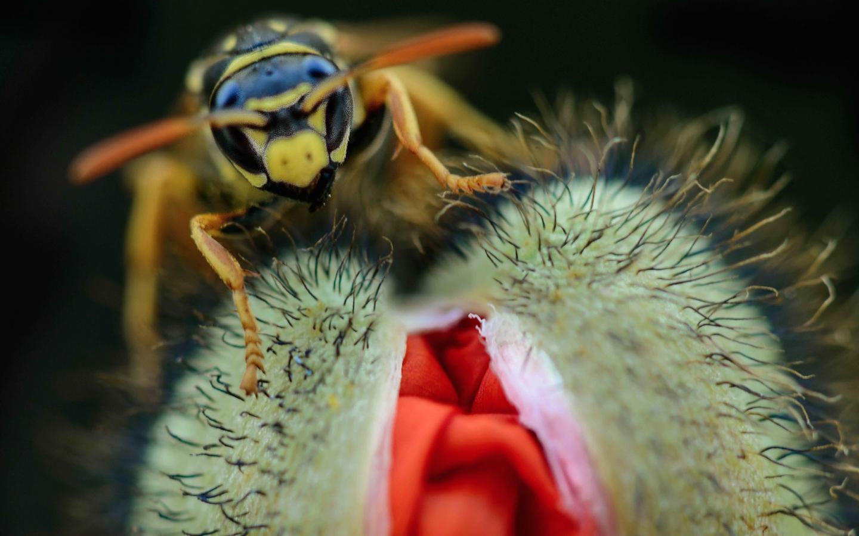 Una avispa y una amapola - 1440x900