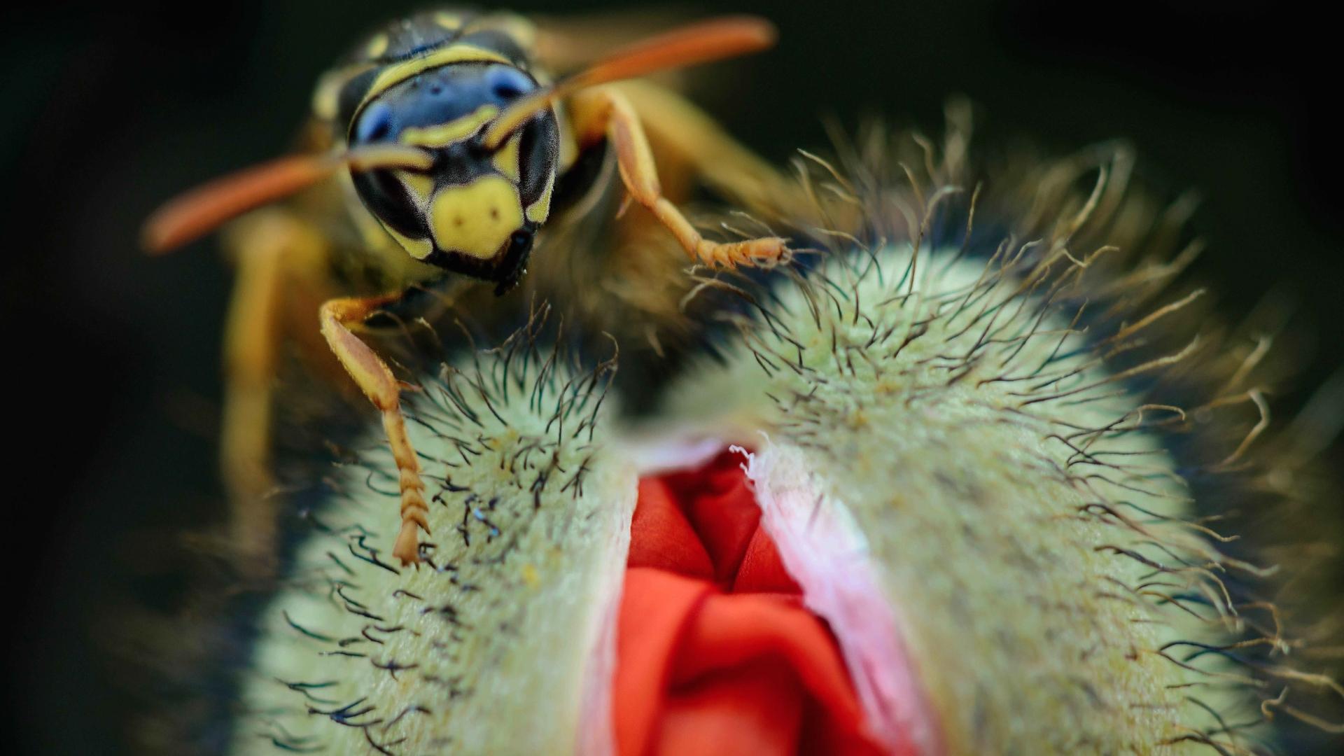 Una avispa y una amapola - 1920x1080